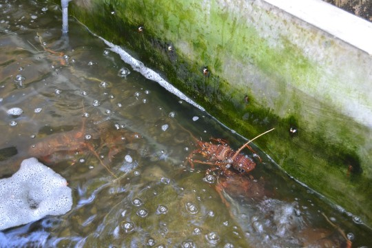 SL_lobster