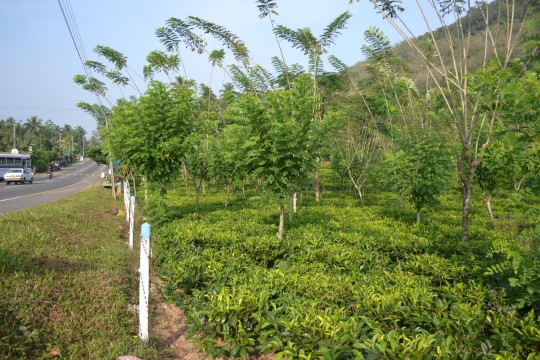 SL_tea tree 5