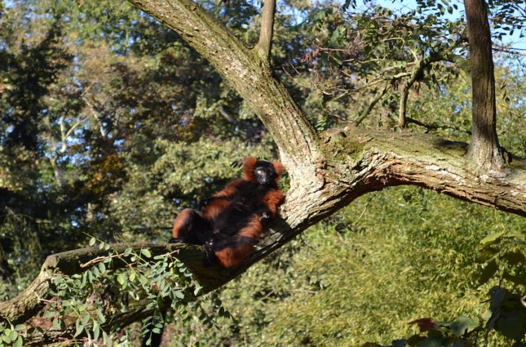Amsterdam_Zoo-lemur 1
