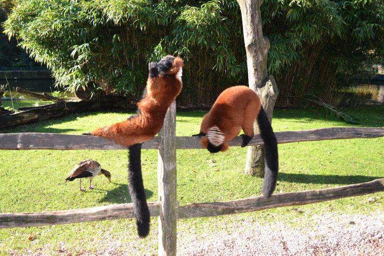 Amsterdam_Zoo-lemur 2