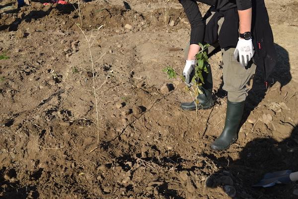 Plantare Beceni BZ 5