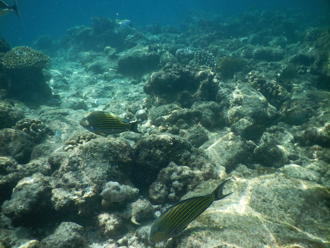 Maldives_snorkeling_Ellaidhoo resort_reef_17