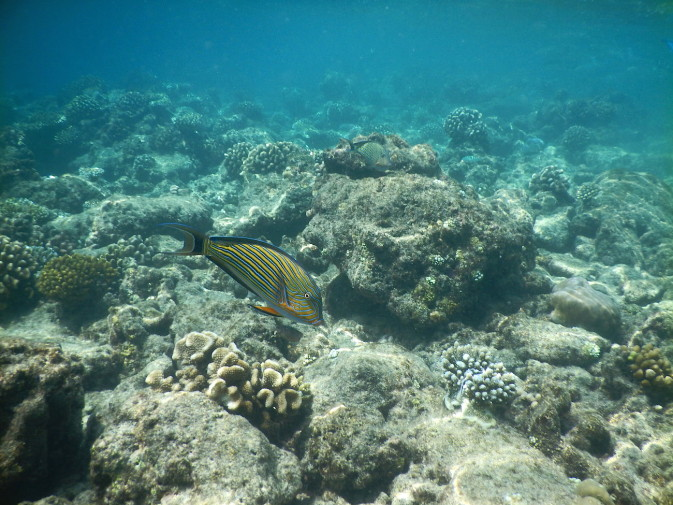 Maldives_snorkeling_Ellaidhoo resort_reef_18