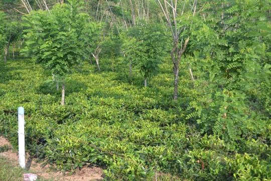 SL_tea tree 1