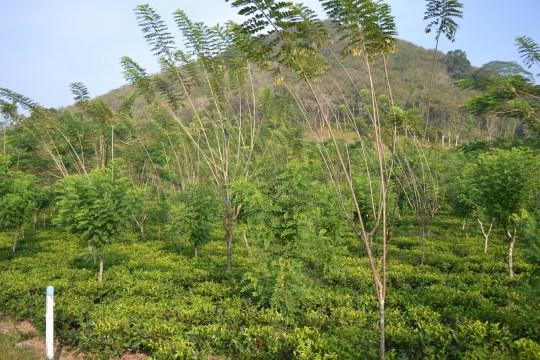 SL_tea tree 2