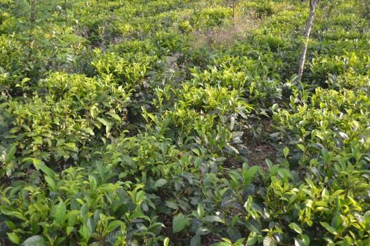 SL_tea tree 4